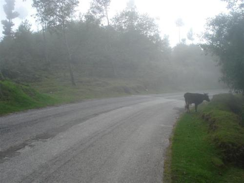 Guate_Misty_Cow